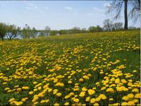 Dandelionsblog